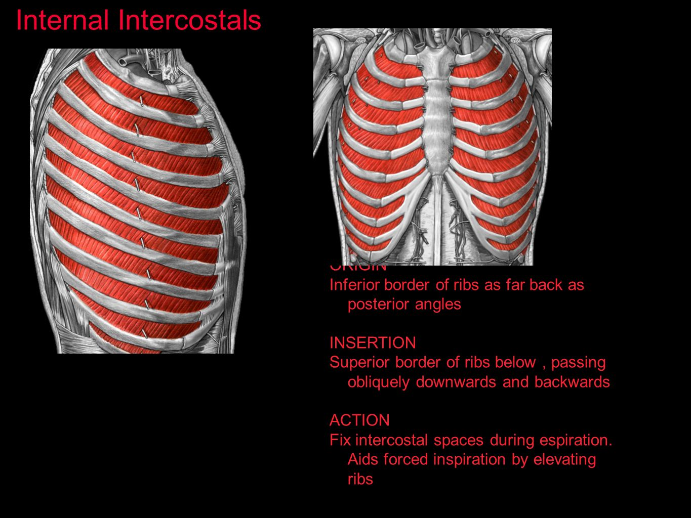 Internal Intercostals