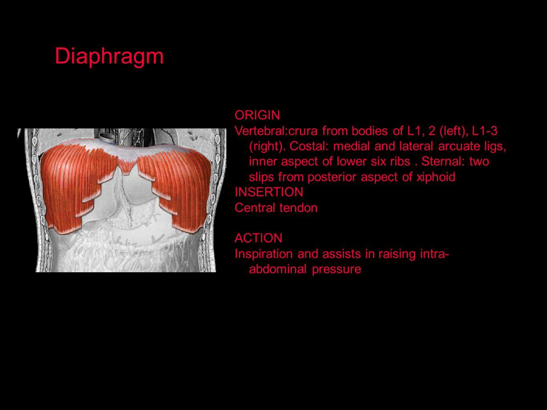 Diaphragm ORIGIN.