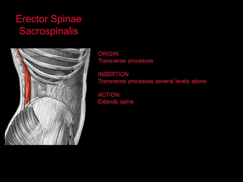 Erector Spinae Sacrospinalis