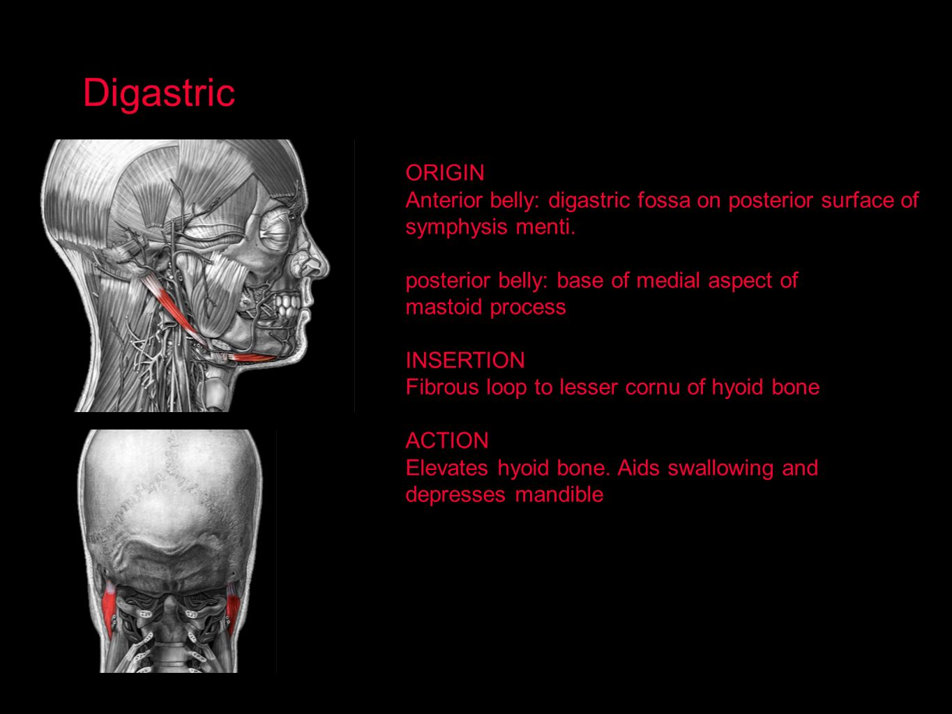 Digastric ORIGIN. Anterior belly: digastric fossa on posterior surface of. symphysis menti. posterior belly: base of medial aspect of.