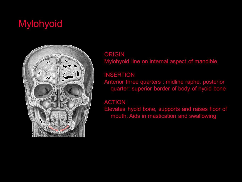 Mylohyoid ORIGIN Mylohyoid line on internal aspect of mandible