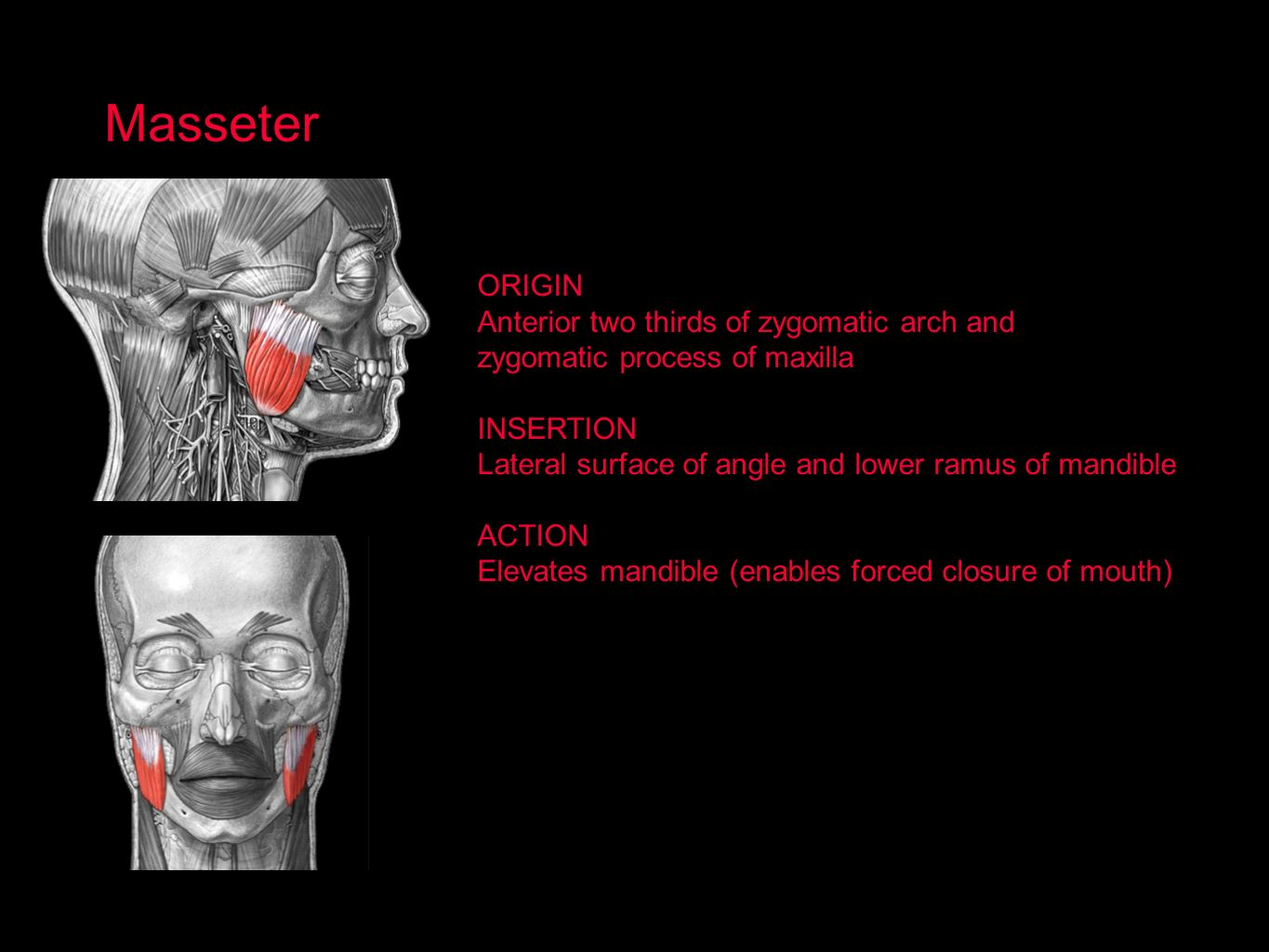 Masseter ORIGIN Anterior two thirds of zygomatic arch and