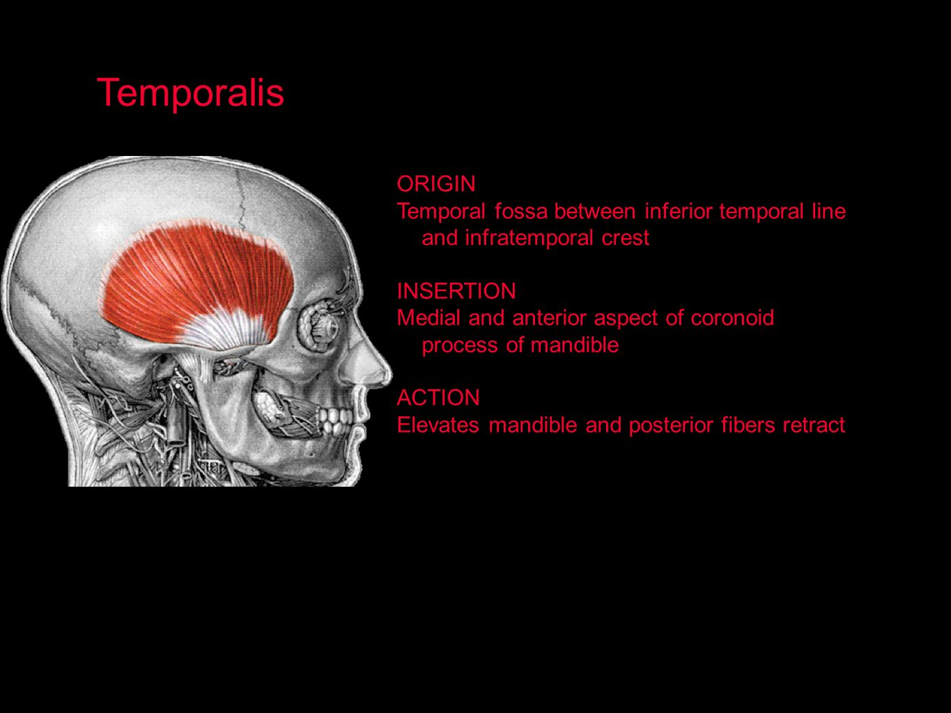 Temporalis ORIGIN. Temporal fossa between inferior temporal line and infratemporal crest. INSERTION.