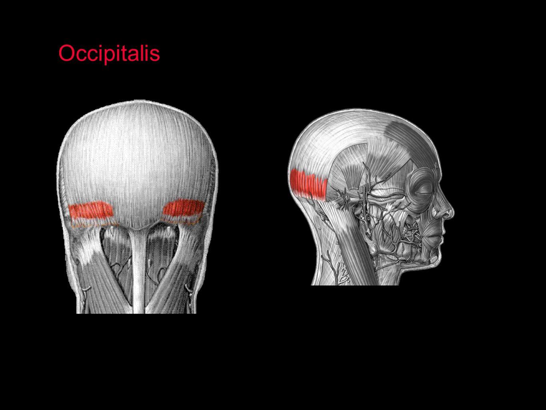 Occipitalis