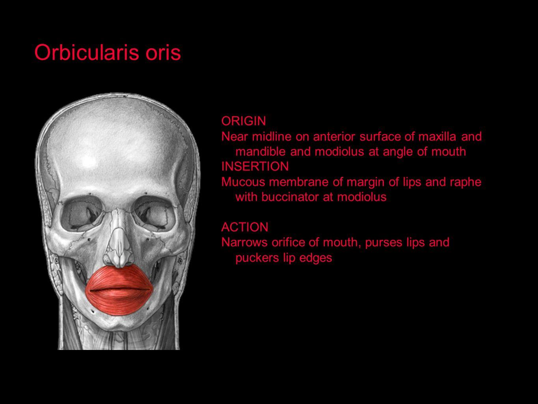 Orbicularis oris ORIGIN
