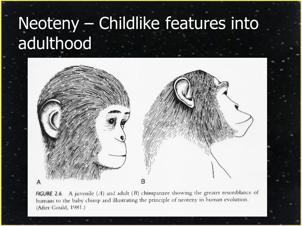 Neoteny – Childlike features into adulthood