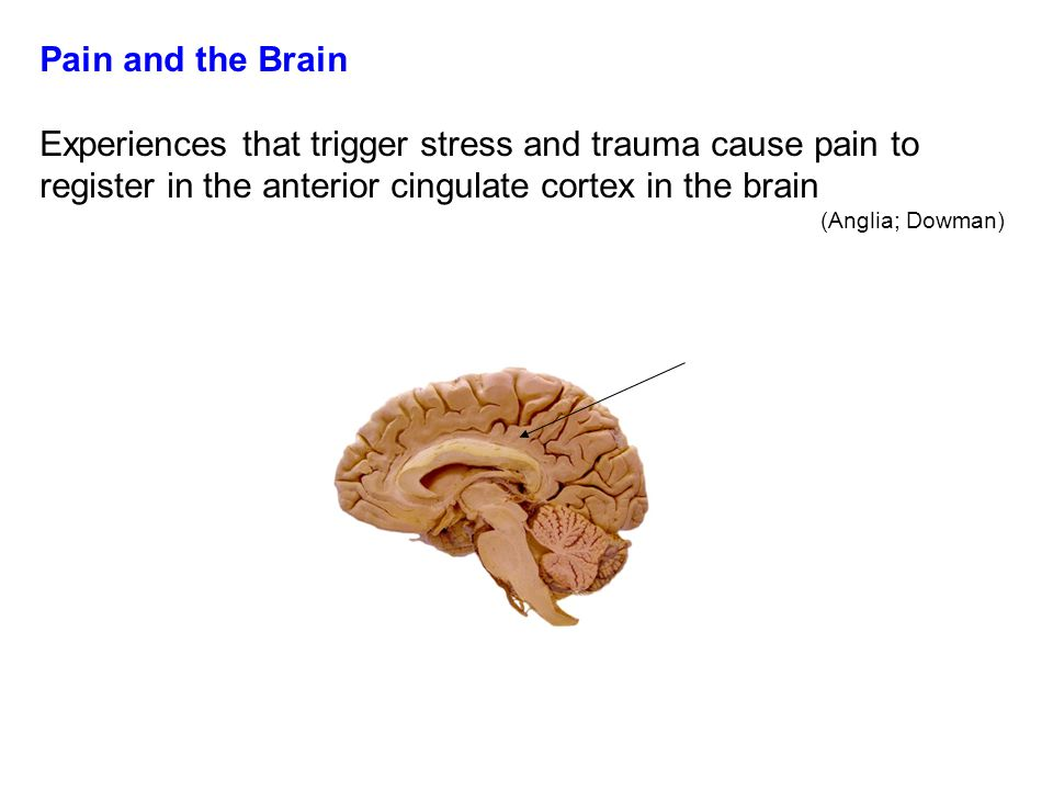 Pain and the Brain Experiences that trigger stress and trauma cause pain to register in the anterior cingulate cortex in the brain.