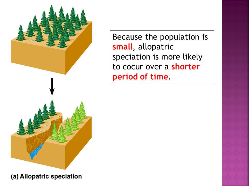 Because the population is small, allopatric speciation is more likely to cocur over a shorter period of time.