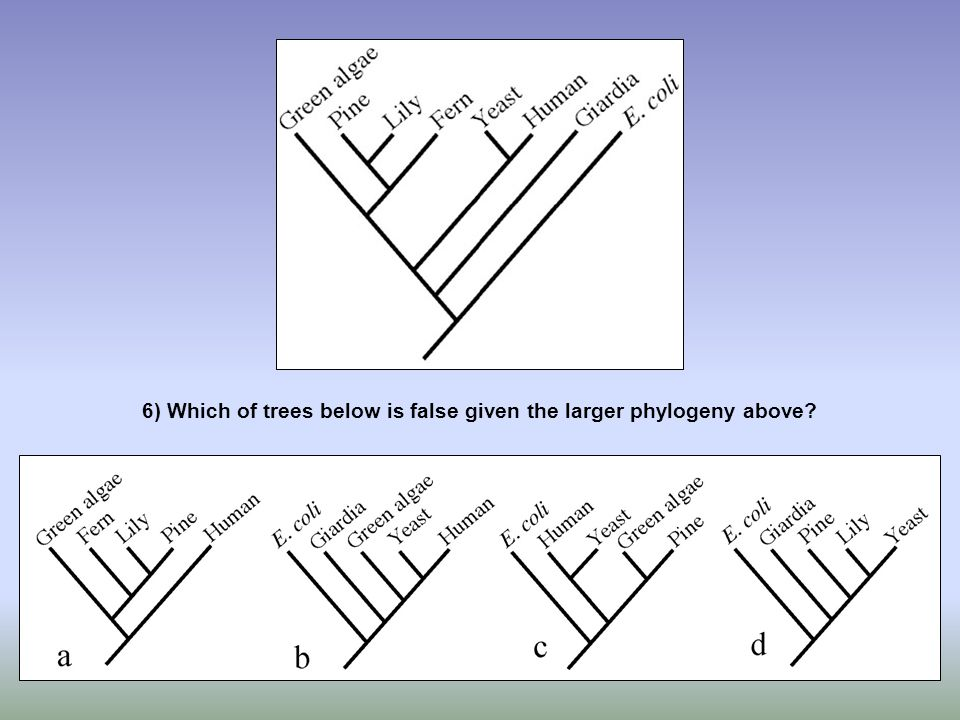 6) Which of trees below is false given the larger phylogeny above