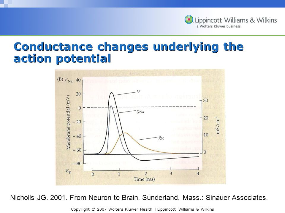 Conductance changes underlying the action potential