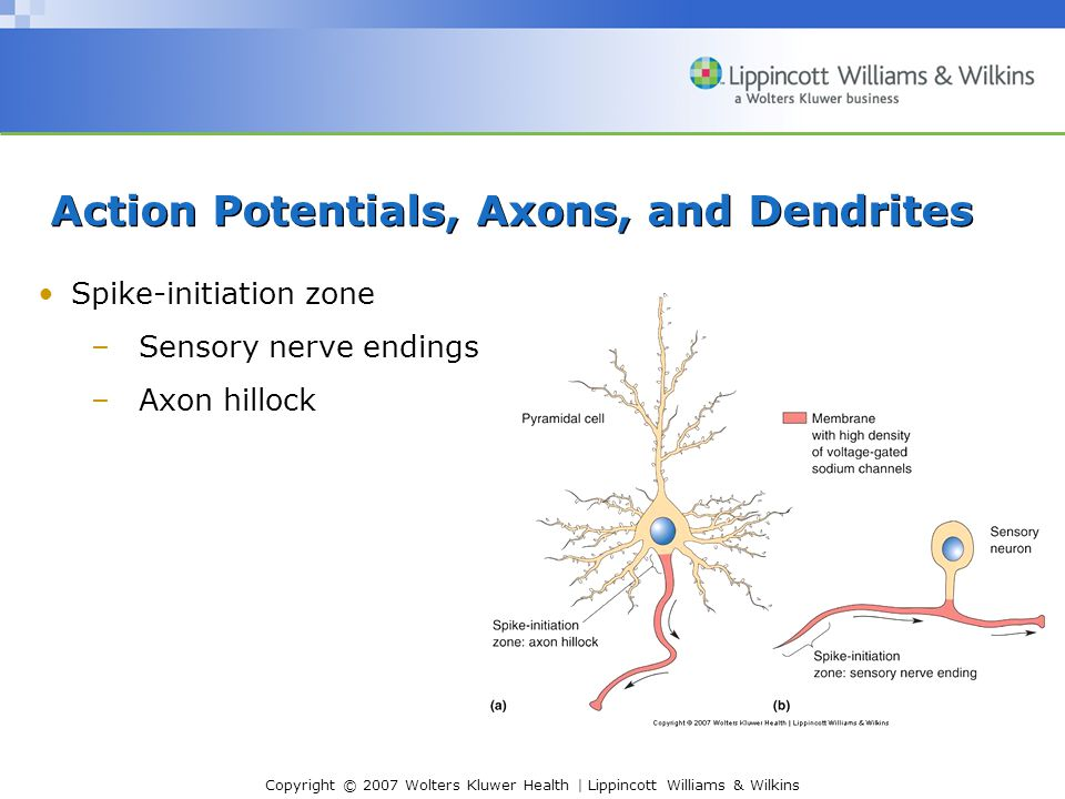 Action Potentials, Axons, and Dendrites