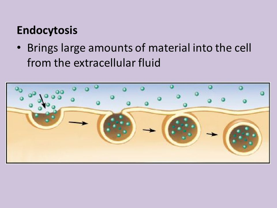 Endocytosis Brings large amounts of material into the cell from the extracellular fluid