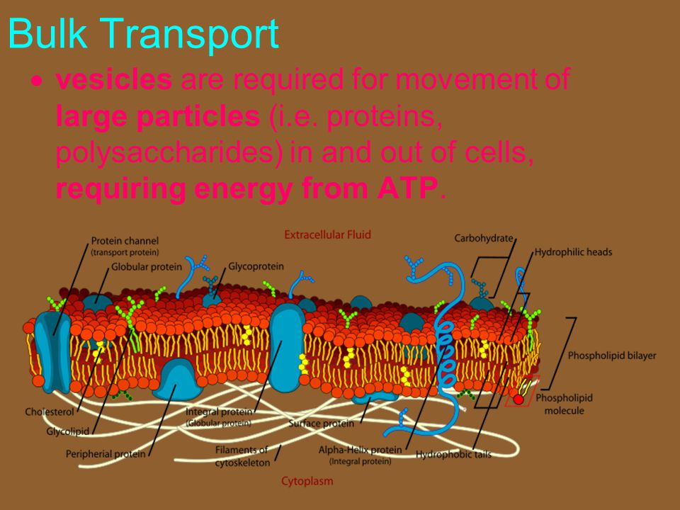Bulk Transport vesicles are required for movement of large particles (i.e.