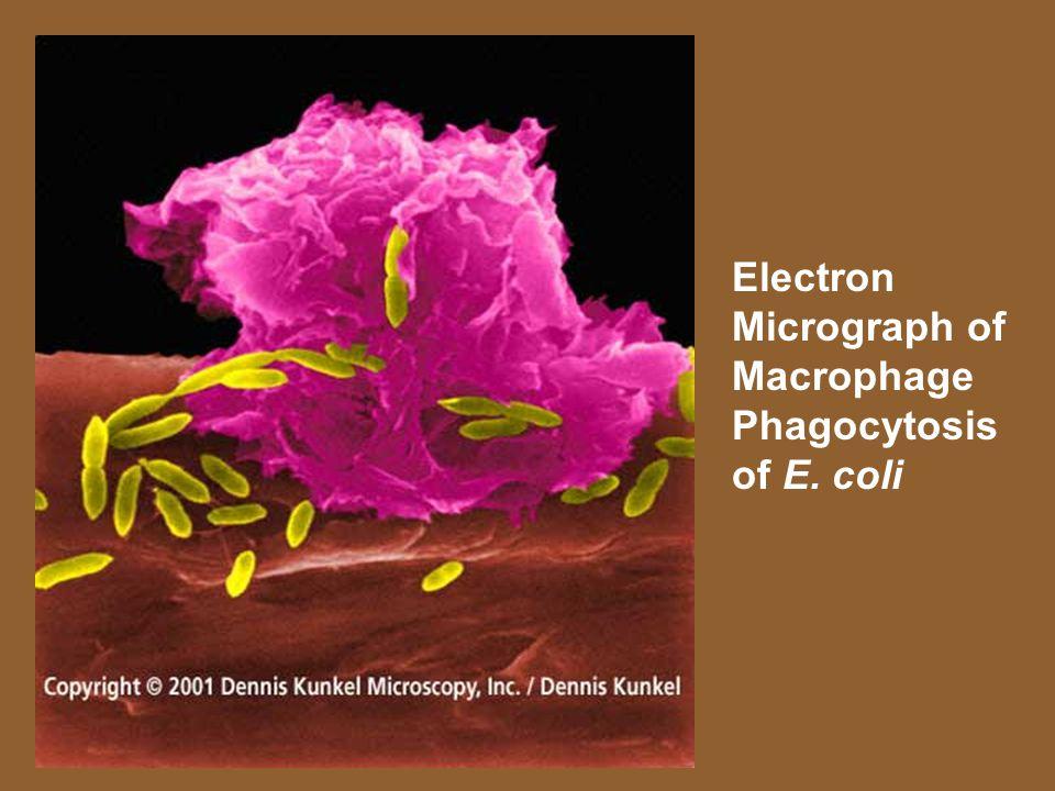 Electron Micrograph of Macrophage Phagocytosis of E. coli