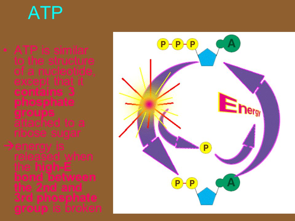 ATP ATP is similar to the structure of a nucleotide, except that it contains 3 phosphate groups attached to a ribose sugar.