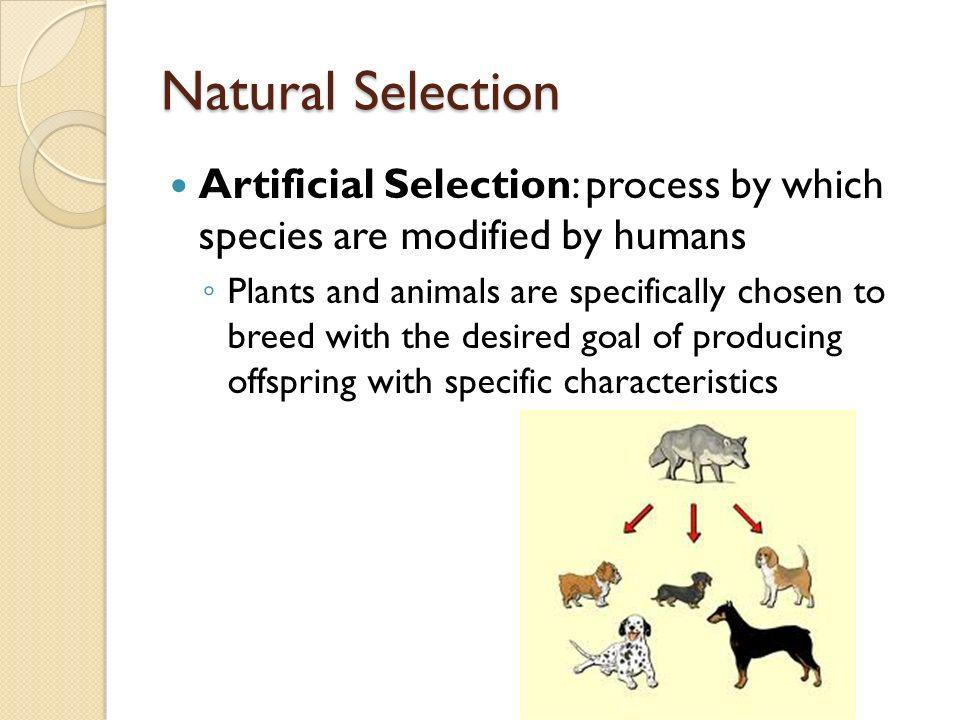 Natural Selection Artificial Selection: process by which species are modified by humans.