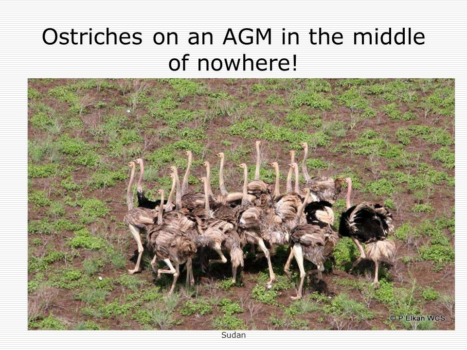 Ostriches on an AGM in the middle of nowhere!