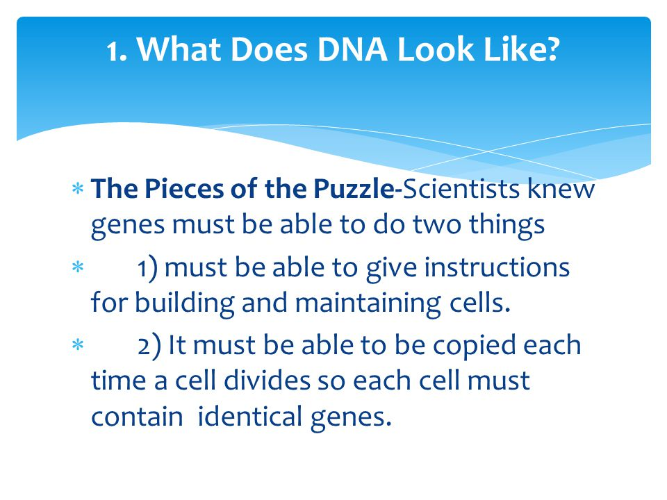 1. What Does DNA Look Like The Pieces of the Puzzle-Scientists knew genes must be able to do two things.