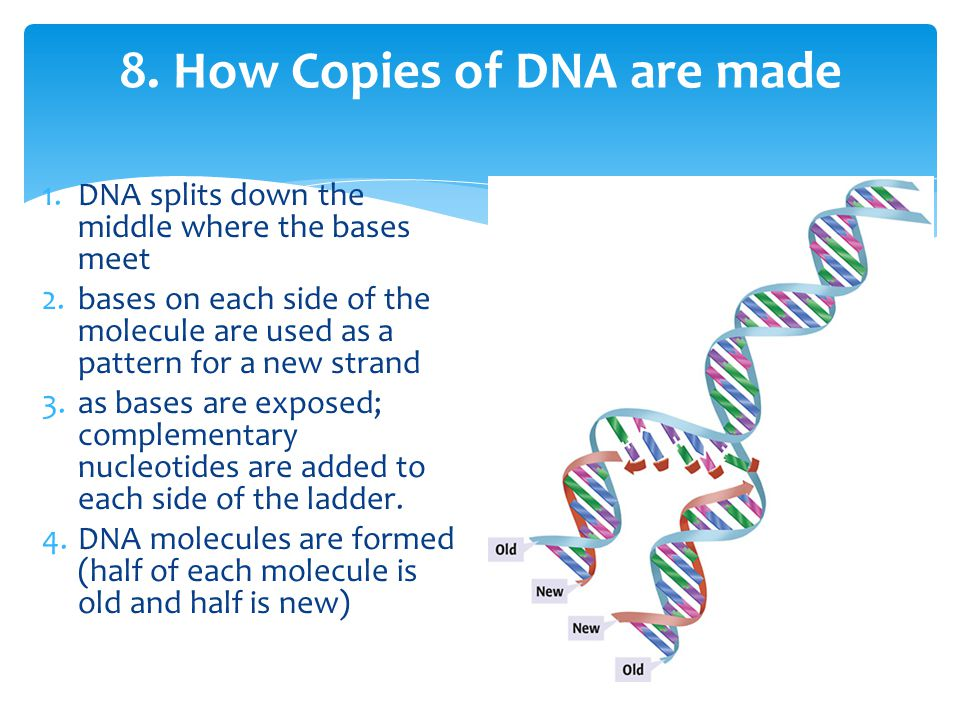 8. How Copies of DNA are made