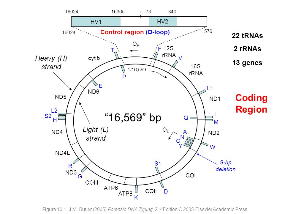 16,569 bp Coding Region 22 tRNAs 2 rRNAs Heavy (H) strand 13 genes