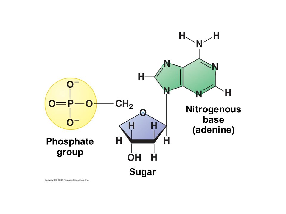 Nitrogenous base (adenine) Phosphate group Sugar
