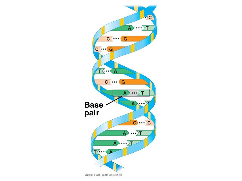 Base pair Figure 3.16C DNA double helix.