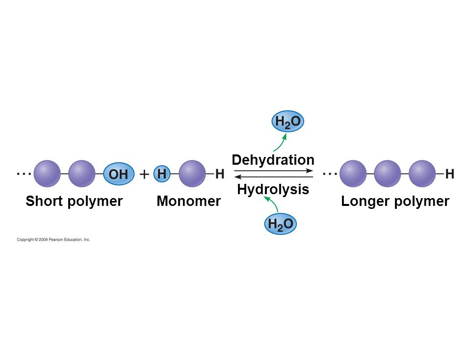 Dehydration Hydrolysis Short polymer Monomer Longer polymer