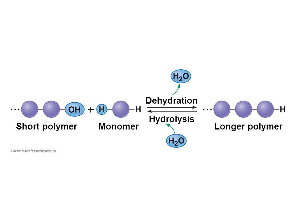Dehydration Hydrolysis Short polymer Monomer Longer polymer