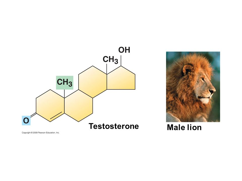 Testosterone Male lion