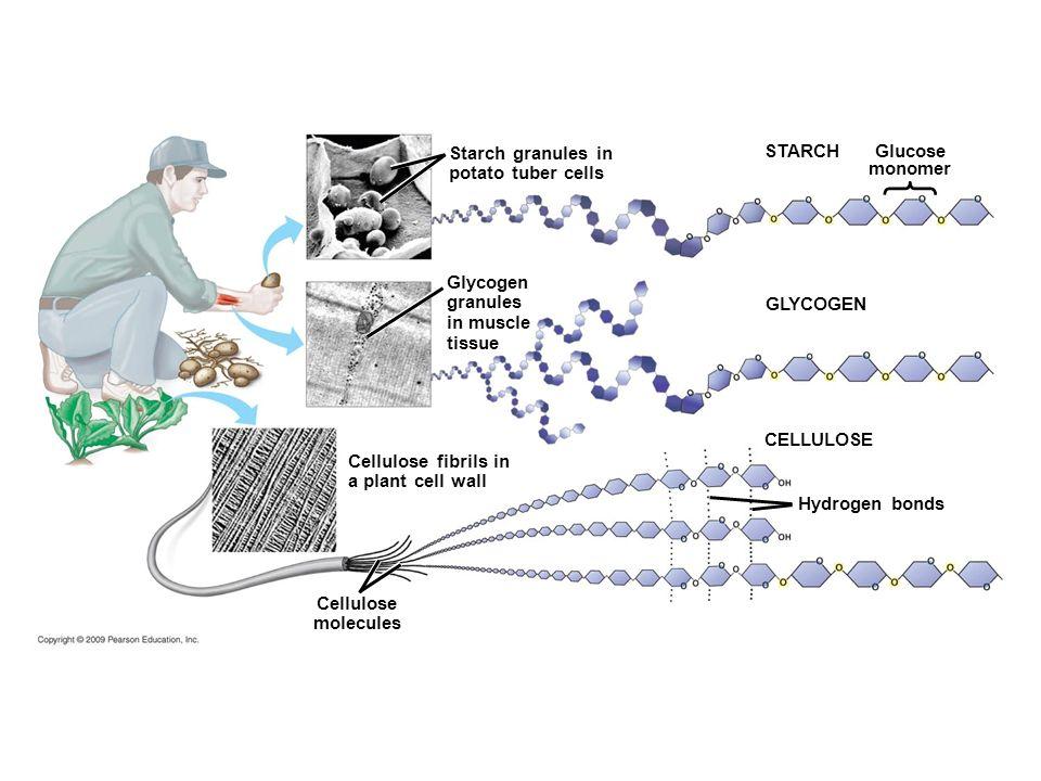STARCH Glucose monomer GLYCOGEN CELLULOSE Cellulose molecules