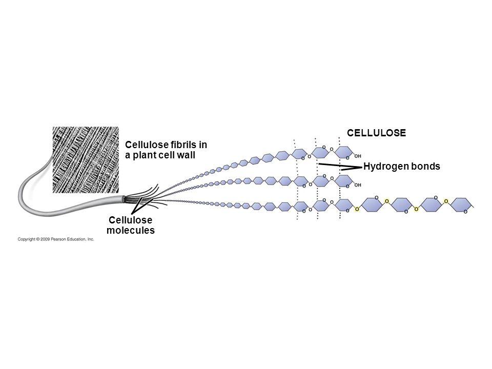 CELLULOSE Cellulose molecules