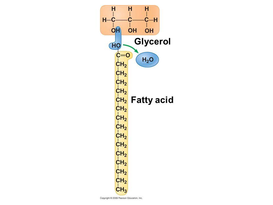 Glycerol Fatty acid Figure 3.8B A dehydration reaction linking a fatty acid to glycerol.
