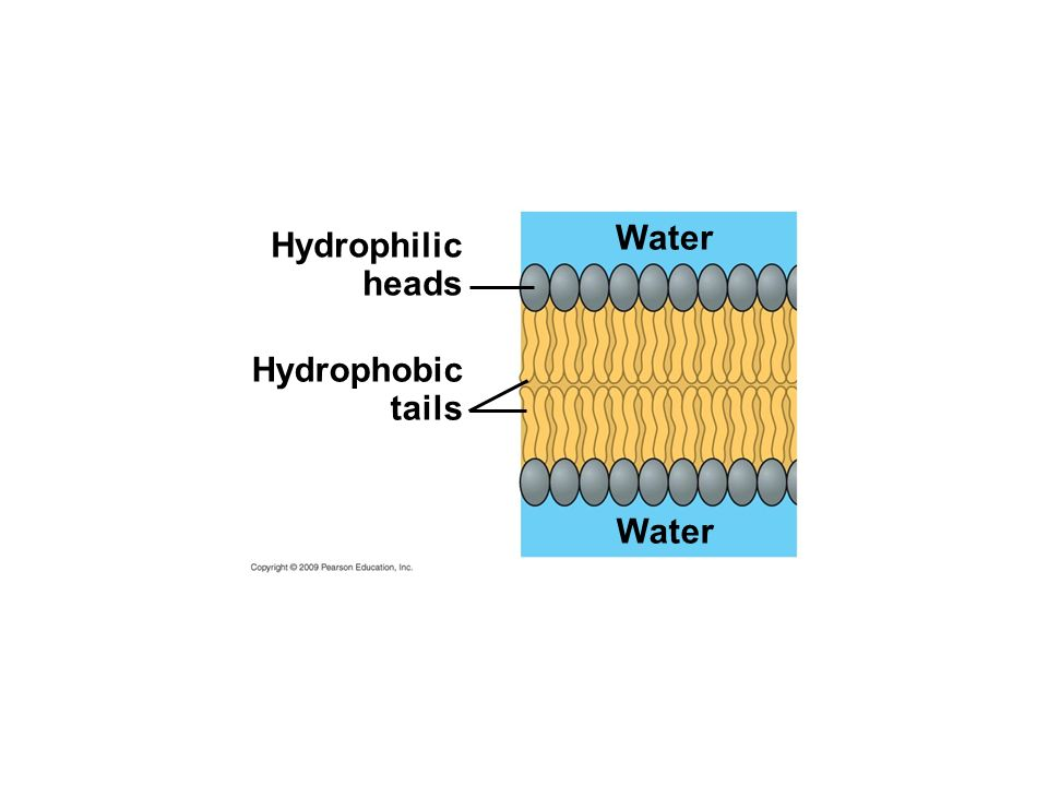 Water Hydrophilic heads Hydrophobic tails Water