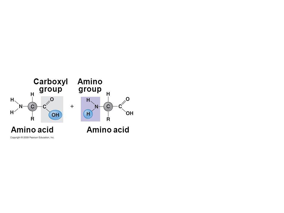 Carboxyl group Amino group Amino acid Amino acid