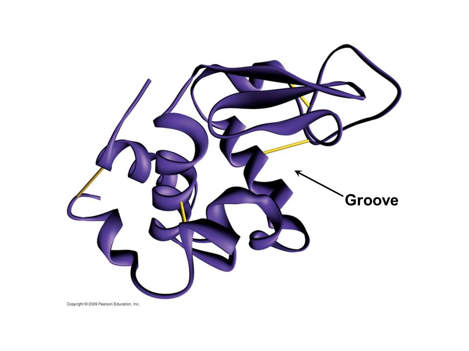 Groove Figure 3.13A Ribbon model of the protein lysozyme.