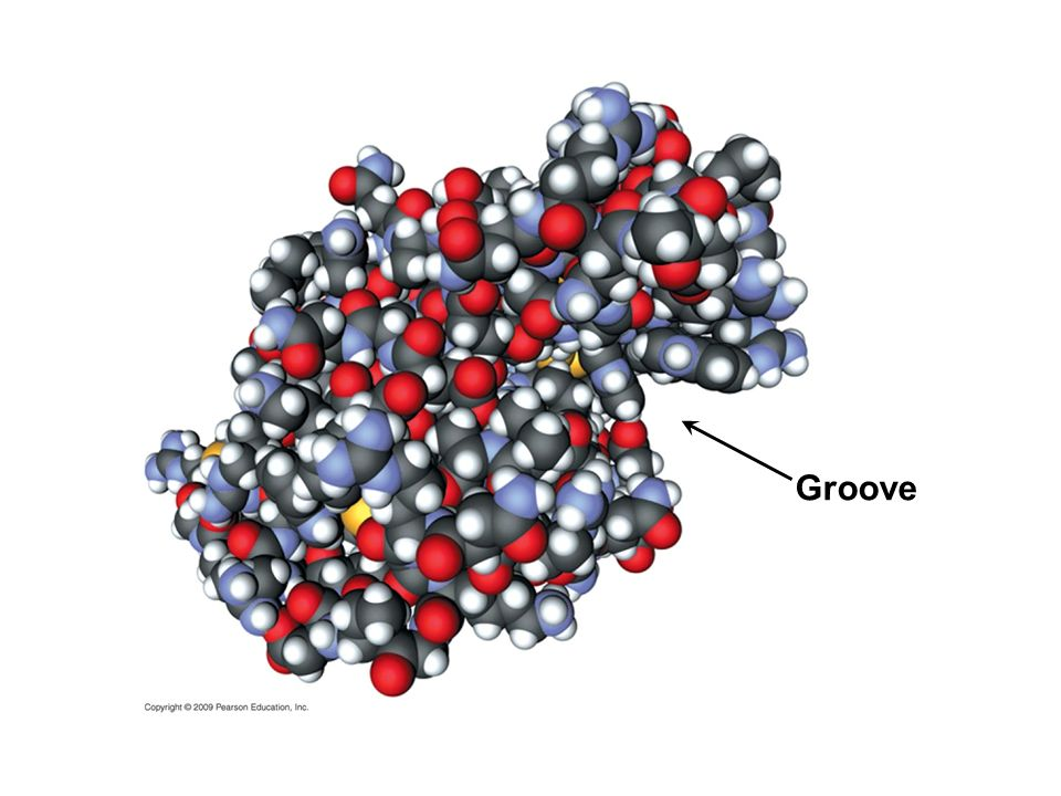 Groove Figure 3.13B Space-filling model of lysozyme.