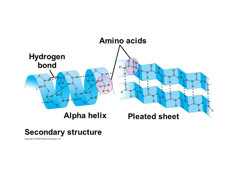 Amino acids Hydrogen bond Alpha helix Pleated sheet