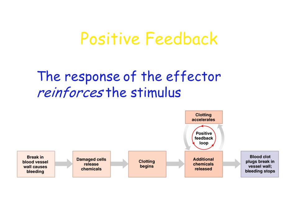 Positive Feedback The response of the effector reinforces the stimulus