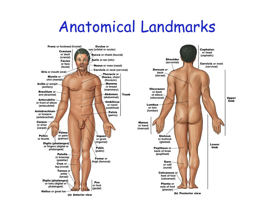 Anatomical Landmarks Figure 1–6