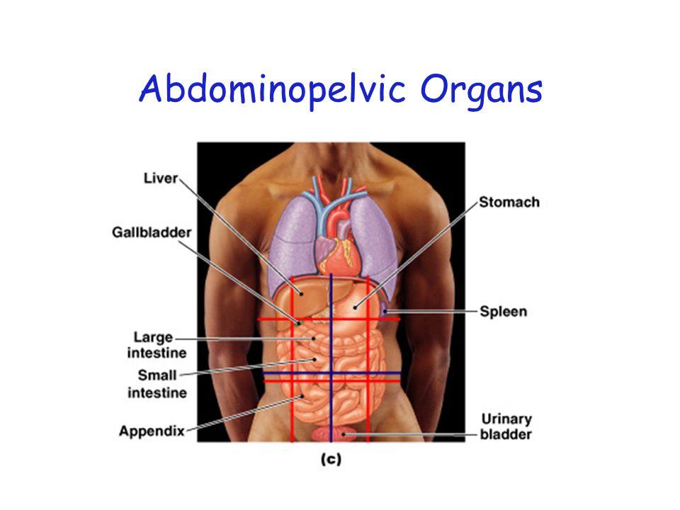 Abdominopelvic Organs
