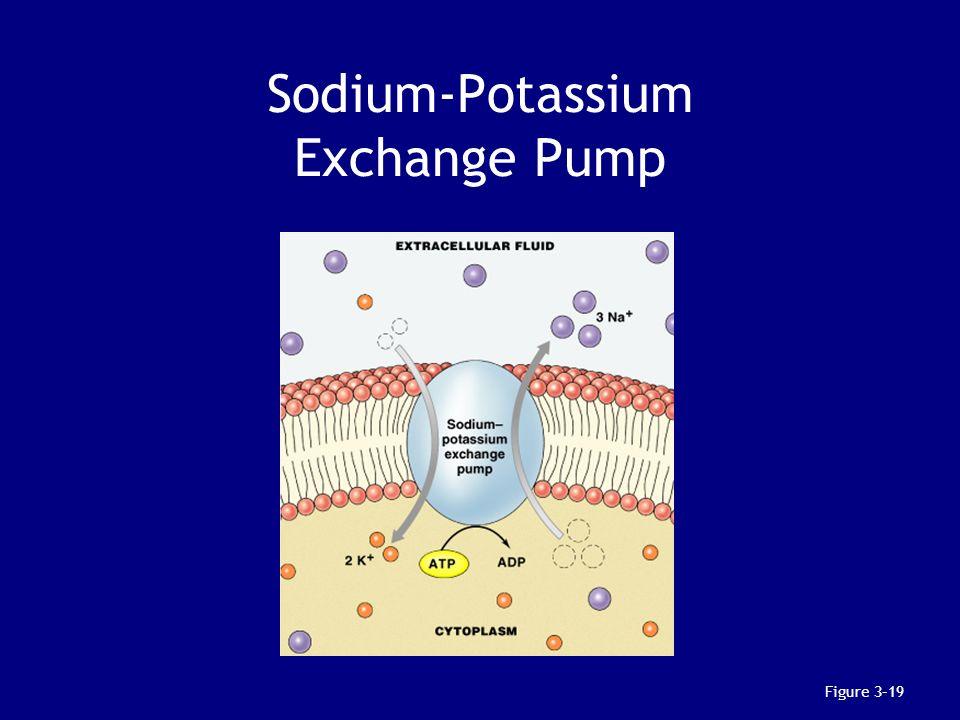 Sodium-Potassium Exchange Pump