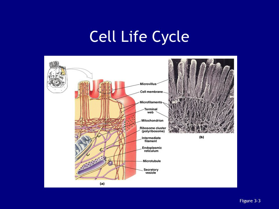 Cell Life Cycle Figure 3–3