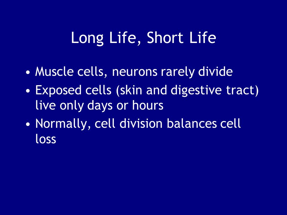 Long Life, Short Life Muscle cells, neurons rarely divide
