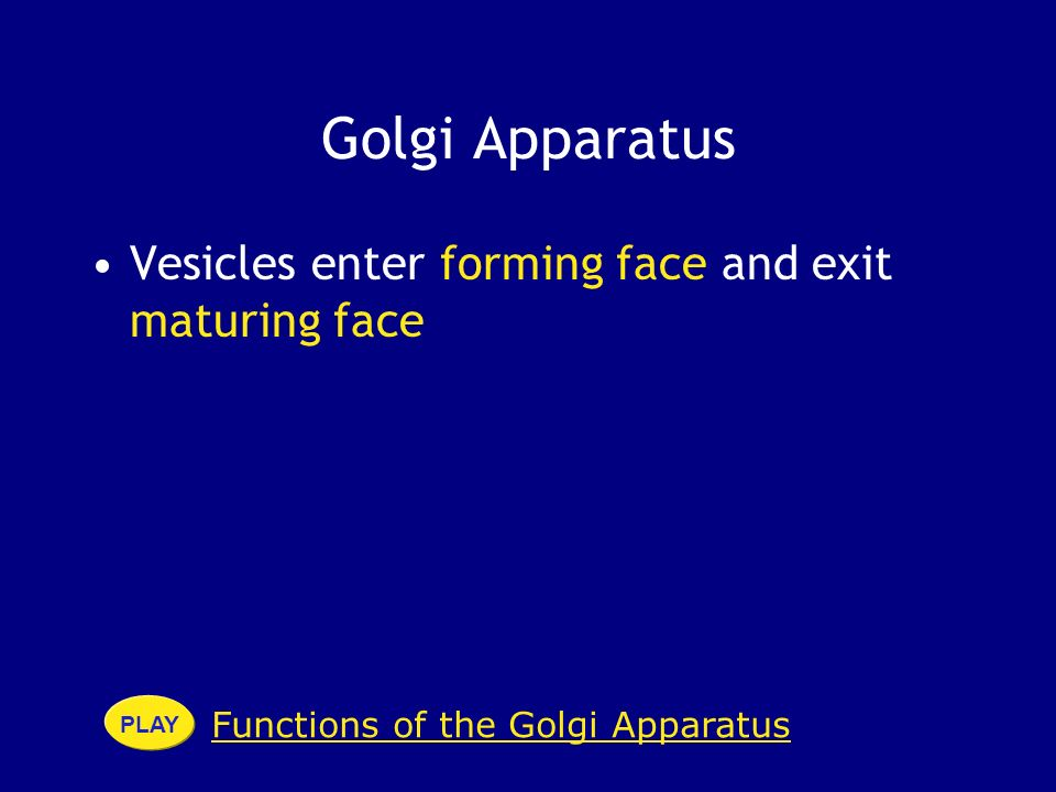 Golgi Apparatus Vesicles enter forming face and exit maturing face