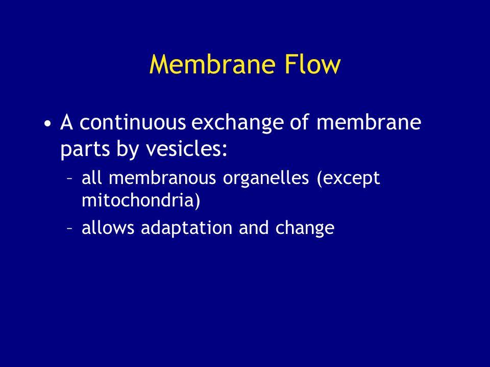 Membrane Flow A continuous exchange of membrane parts by vesicles: