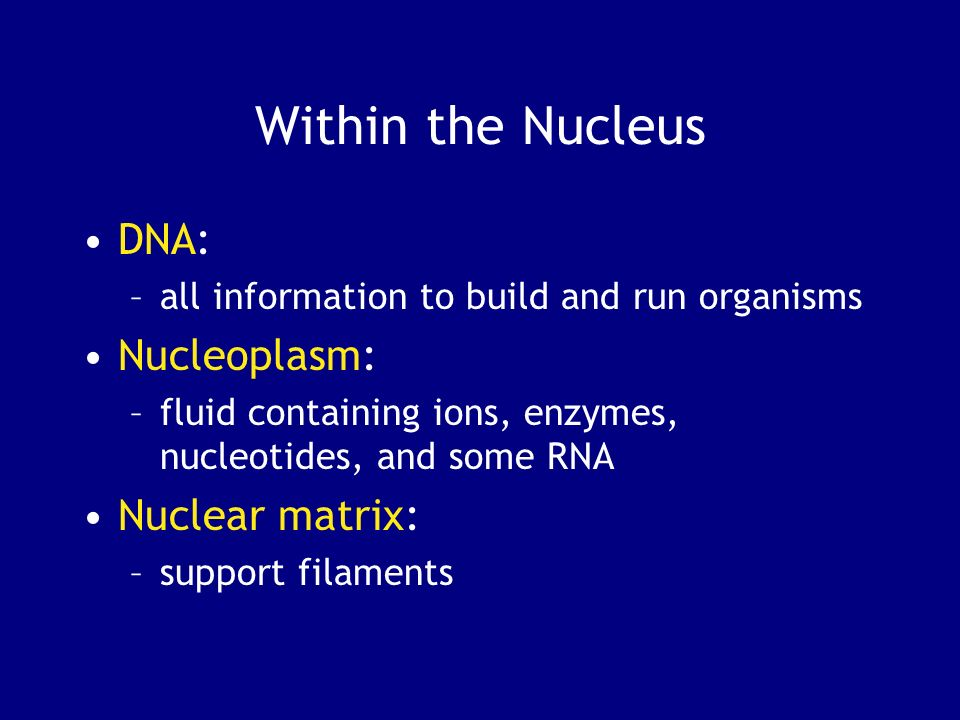 Within the Nucleus DNA: Nucleoplasm: Nuclear matrix: