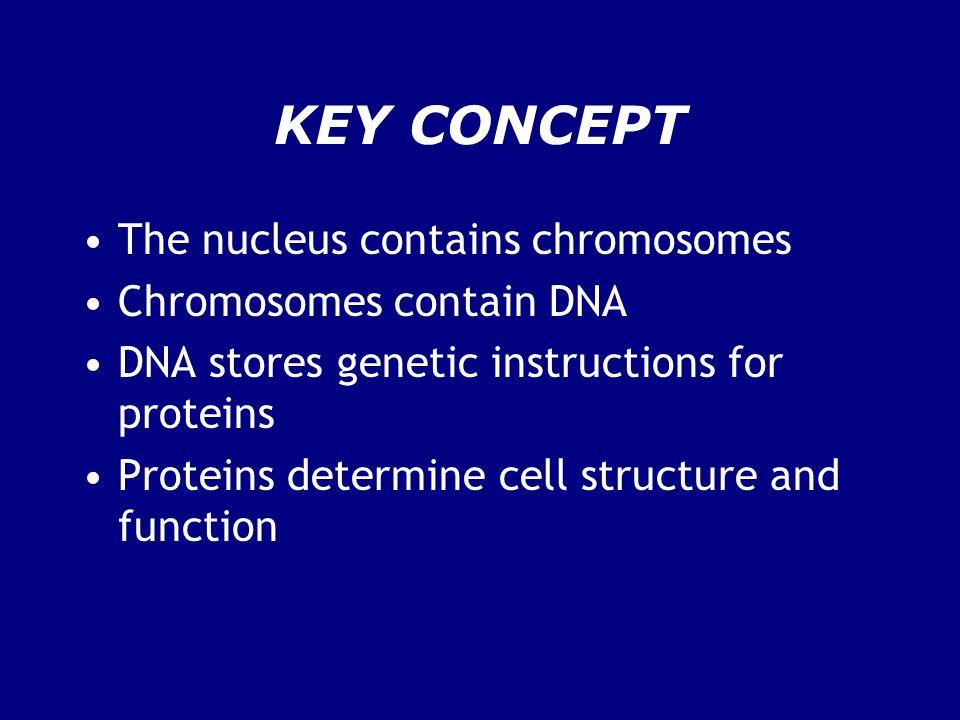 KEY CONCEPT The nucleus contains chromosomes Chromosomes contain DNA