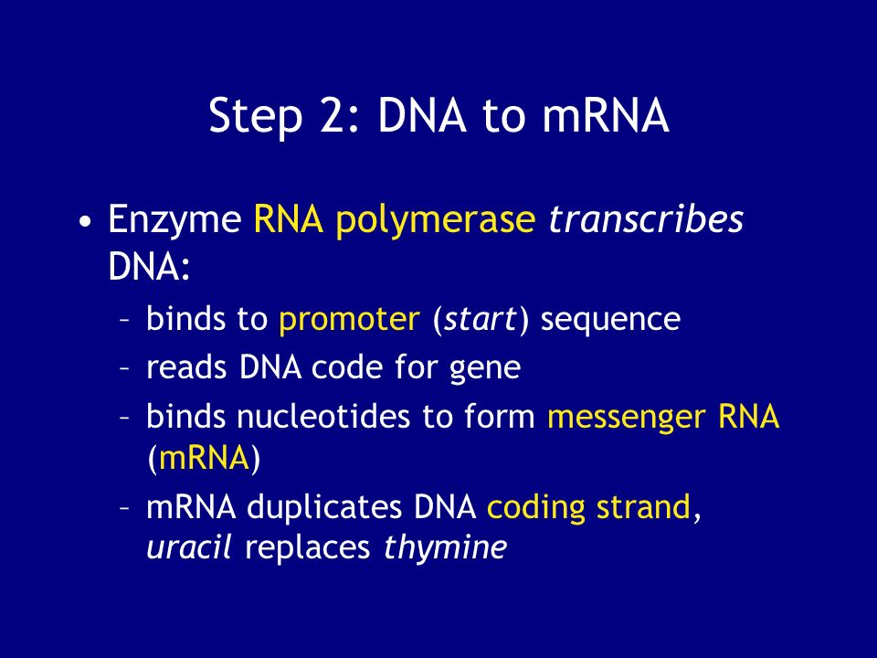 Step 2: DNA to mRNA Enzyme RNA polymerase transcribes DNA: