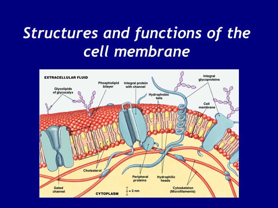 Structures and functions of the cell membrane