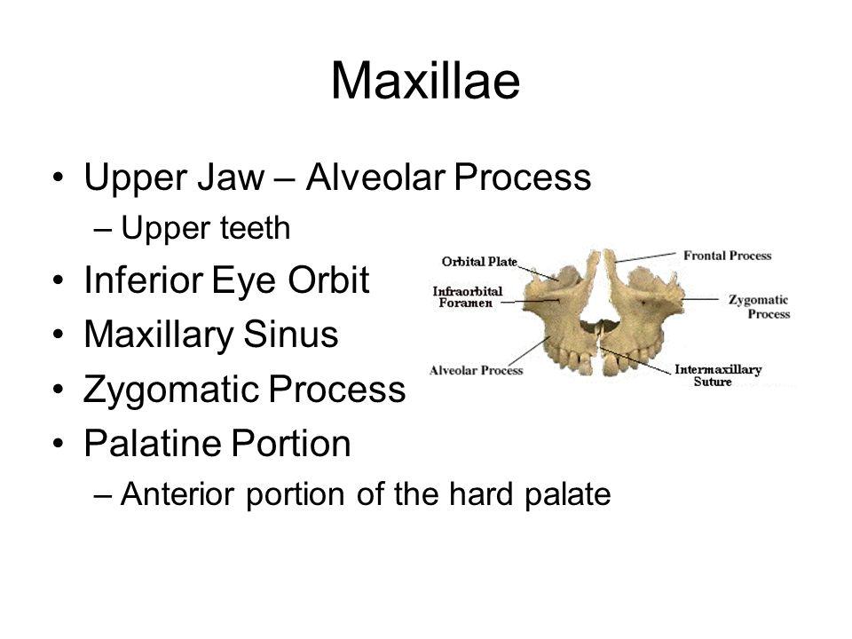 Maxillae Upper Jaw – Alveolar Process Inferior Eye Orbit